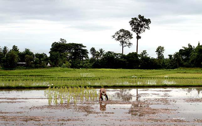 Rice fields in Sakon Nakhon, Isaan.