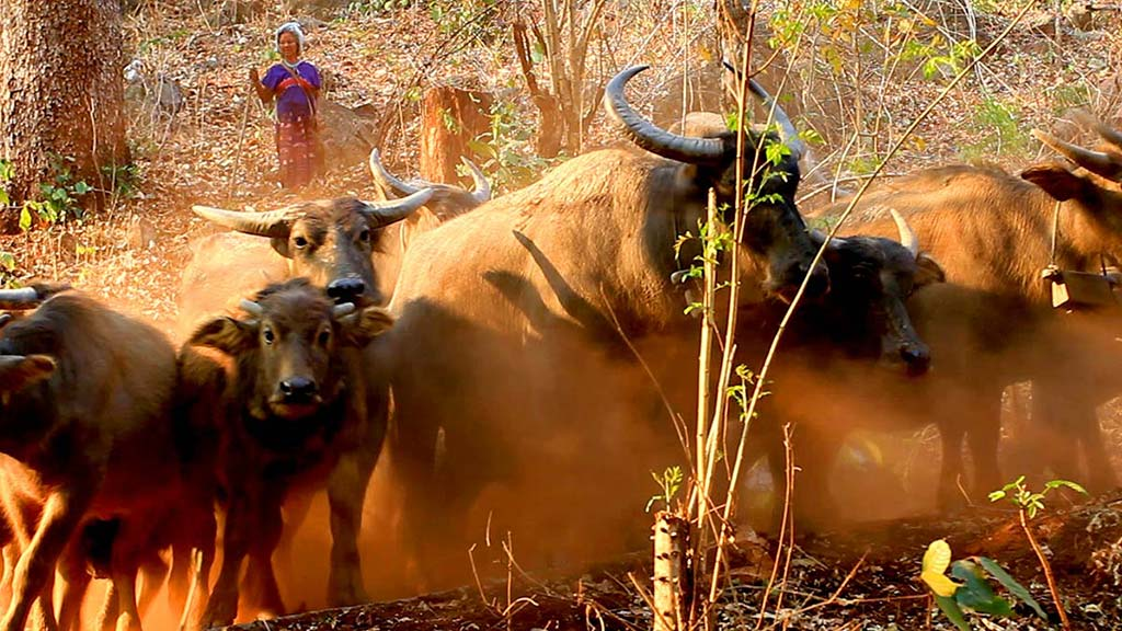 Karen woman with the cattle.