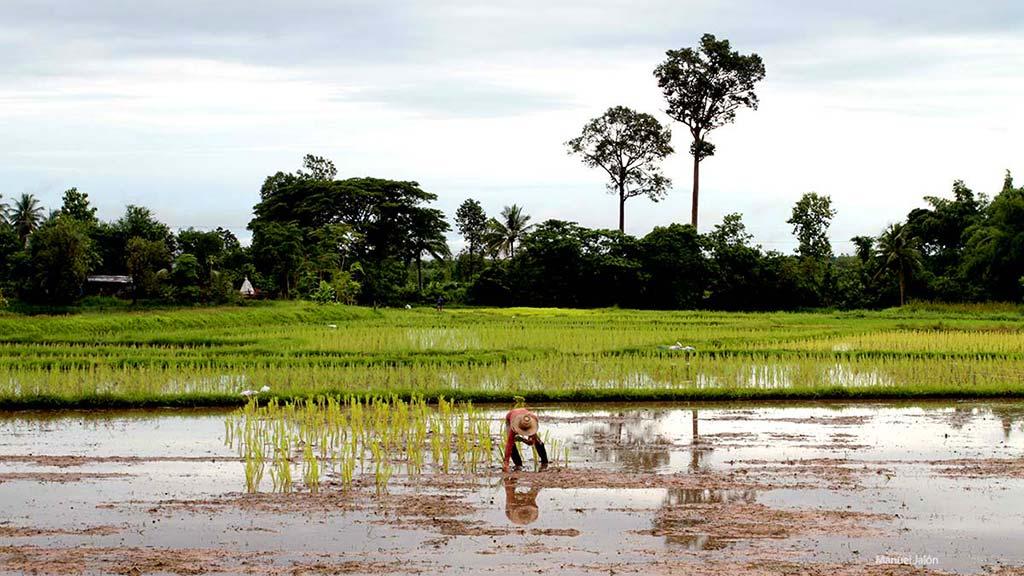 Rice fields in Sakon Nakhon.