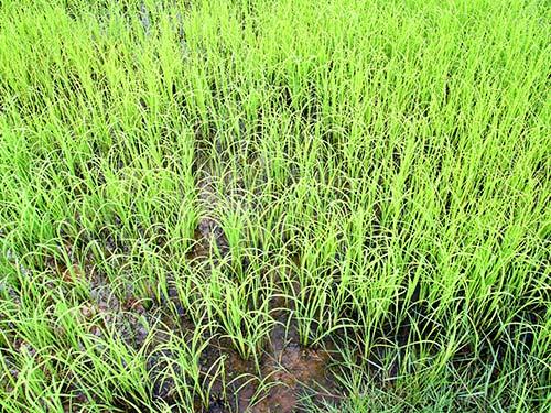 Rice plants.