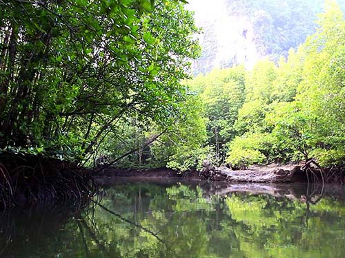 Mangrove in Krabi.